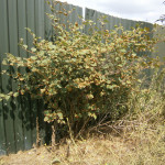 Clump of Japanese Knotweed – before treatment